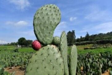 Emblème du Mexique, le figuier de Barbarie est aussi source d'énergie !
